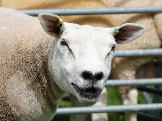 How well do you know your sheep breeds? Have a go and test