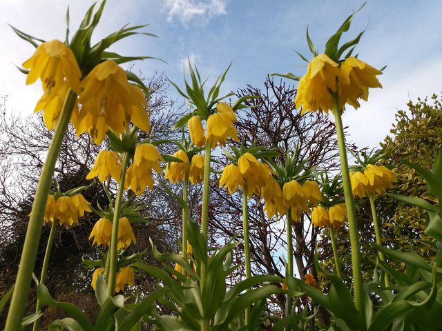 Magnificent flowering fritillaria, Crown Imperial.  Picture by Tom Pattinson