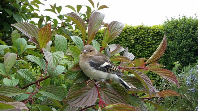 Chafffinch nests in a viburnum. Picture by Tom Pattinson