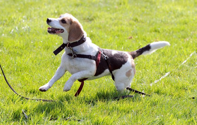 No weight issues for this sprightly beagle.