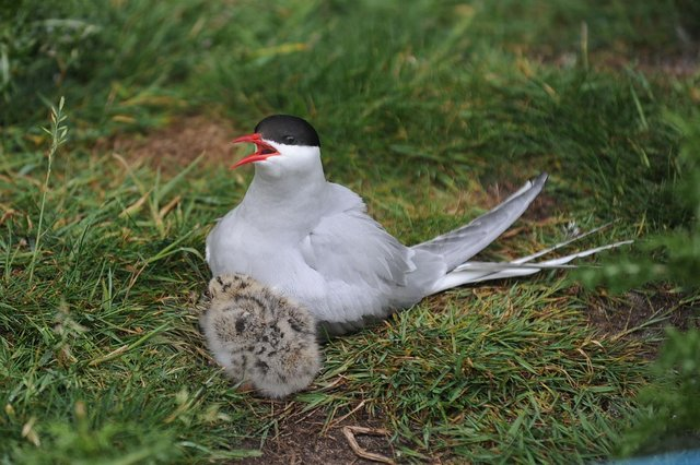 Arctic Tern and chick on Inner Farne
