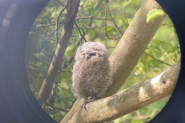 Tawny owl chick seen through a telescope at Hauxley. Picture by Alex Lister.