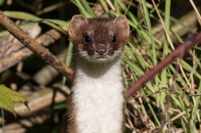 A stoat at Hauxley. Picture by Tim Mason.