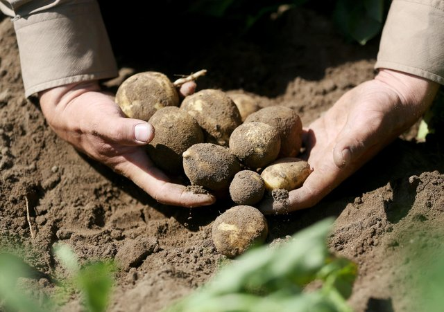 Vegetables, including potatoes, were the crops most affected by the slow start to this growing season. Picture by Roland Weihrauch/Getty Images