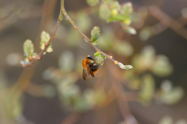 A moss-carder bee.