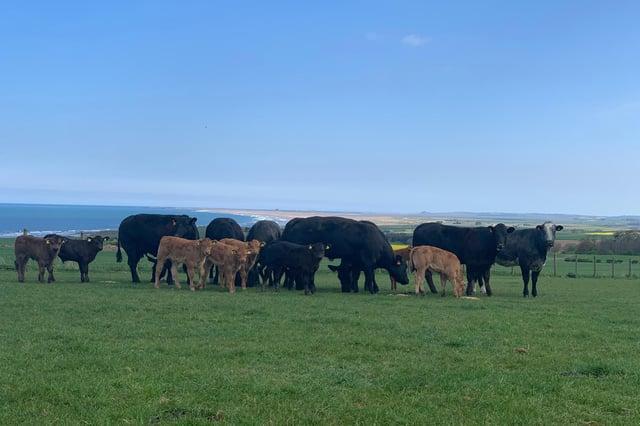 Inland Pasture cattle.