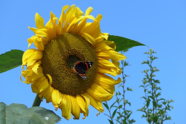 Alnwick in Bloom has launched its annual children's sunflower competition.