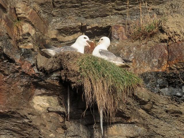 Fulmars getting acquainted. Photo: Iain Robson