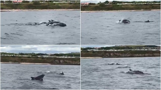 Footage captured by Chick Purves on board the 'Border Rose' while out on sea trials just off the Berwick coast on Tuesday, July 14 shows a pod of dolphins having fun and splashing around.