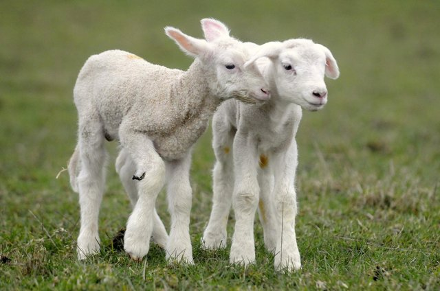 Police remind rural dog walkers of lambing season after reports of livestock attacks by dogs