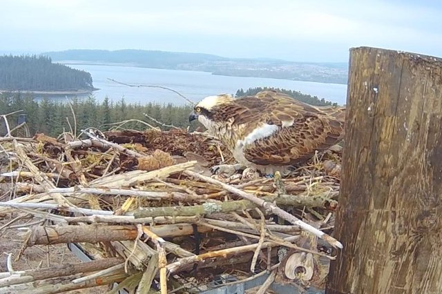 Nest 7 with eggs. Picture: Kielder Water & Forest Park.
