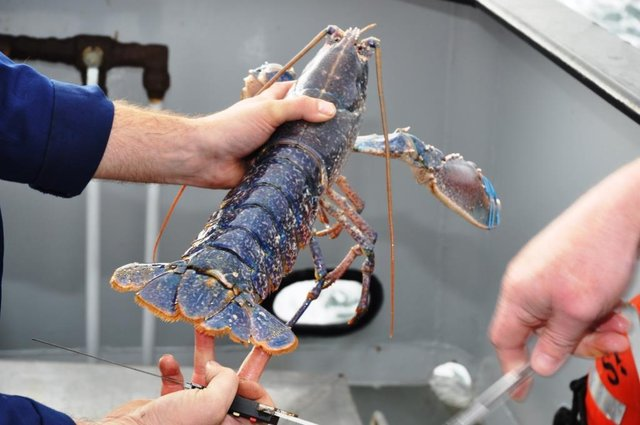Notched European Lobster, common in the NIFCA district.