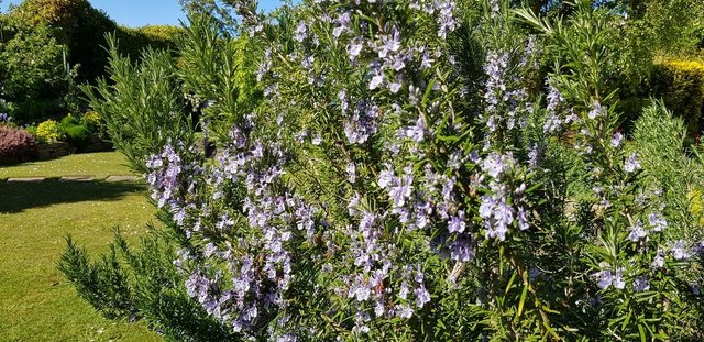 A garden favourite, rosemary `Jessop`s Upright.`