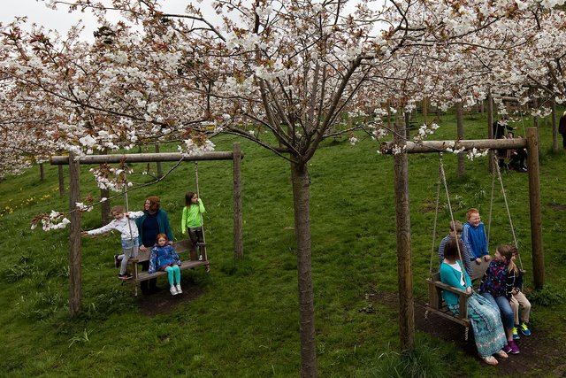 The cherry tree orchard at The Alnwick Garden.