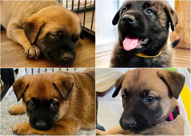 The newest Northumbria Police puppy recruits preparing for a career with the force