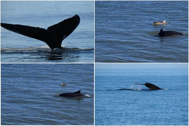 Andrew Douglas, from Serenity Farne Island Boat Tours, saw a humpback whale swimming off the Northumberland coast and walker Jake Dawson spotted dolphins in Amble.