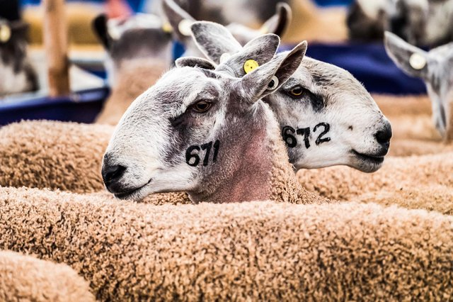 Kelso Ram Sales are back following the Covid pandemic.